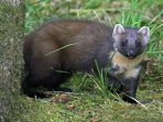 A pine marten spotted in the grounds of Mingarry Lodges