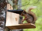 a red squirrel on one of the feeders in the woods behind Mingarry Lodges