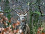 A red deer stag in the grounds of Mingarry Lodges