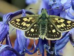 A chequered skipper butterfly in the grounds of Mingarry Lodges