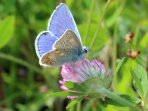 a common blue butterfly in the grounds of Mingarry Lodges