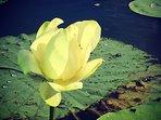 Water lotus Turners Creek - 5 min