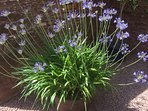 The Agapanthus looked so good this summer.