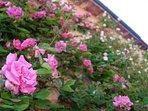 Villa Sassi's roses