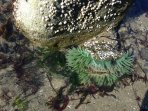 Nearby tide pools in Bar View, just a short drive. Check out the sea life!!