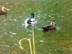 Enjoy a variety of waterfowl including ducks. geese and cranes  on the pond.