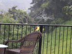 These beautiful birds visit us quite often. Toucans also fly past and monkeys pass by down below.