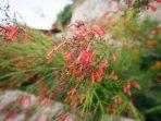 Russelia plant in the garden - Villa Russelia in Rhodes