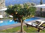 Orange tree