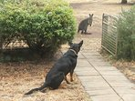 Gus, the sheep dog, supervises a wallaby