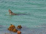 Cape Fur Seal swimming in front of The Milestone
