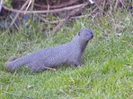 Mongoose on the edge of The Milestone's lawn