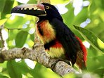 Fire Billed Aracari, part of the Toucan family and regularly seen from the house