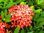 Tropical bush with tiny red flowers called ixora.