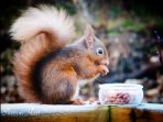 Red Squirrel on the decking
