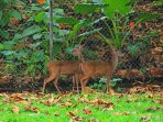 Costa Rica's national animal, the white-tailed deer, living on the property.