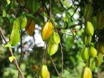 Star fruit tree: pick the yellow ones and make a delicious juice by blending water and sugar.