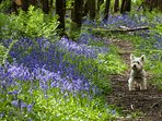 Bluebell woods lovely to walk you dog off lead