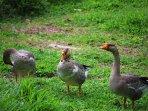 Happy ducks waddling around the yard.