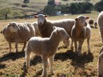 Suffolk ewes and lambs