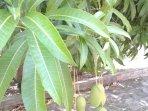 albero di mango nel nostro giardino