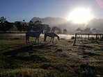 An early morning view towards the blue mountains and steaming water ... horses grazing peacefully.