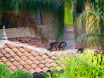 Howler monkeys crossing the palm trees and rooftops in the backyard of the house.
