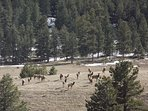 local elk herd
