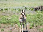 Pronghorn buck - handsome boy!