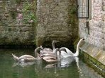 The swans ring the bell at the Bishop's Palace each day for food!