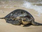 Laniakea Beach or Turtle Beach – green sea turtles resting on the beach (35-minute drive)