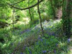 Bluebells in the woodland area at the bottom of the garden