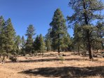 National Forest Service Area Ponderosa Pines.