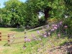 Distinctive alliums flowering in Russet's garden