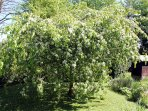 The spectacular flowering cherry