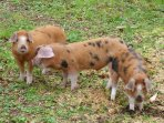 The owners also keep Oxford and Sandy rare breed pigs