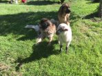 Chewy and Toffee, our 2 Leonbergers and Sophie this years pet lamb....