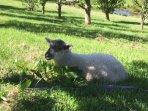 Join Sohpie the lamb on our little farm beside the Motueka River