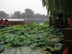 Lotus flower at Houhai, the Lake in Back