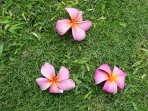 Fallen Pink Plumeria Petals from Tree as viewed from the Lanai