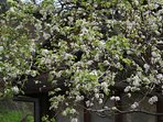 Pear tree in spring time