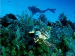 Photo taken on Cayman Brac. Hawksbill turtle.