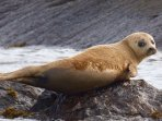 A baby seal  - one of many - on the rocks below!