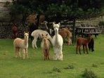 Spinney Farm Alpacas