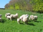 Sheep in the top fields