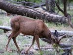 Mule deer in Zion National Forest that are so close you can almost touch,