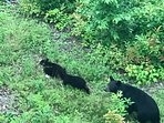 Mama Bear and Her Cubs.  Very good chance you'll see them Spring through Summer.