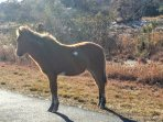 Visit the wild ponies of Assateague, a short drive from OC. Don't miss the Visitor's Center