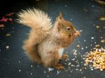 Cyril the Red Squirrel - a regular visitor to The How