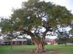 Gnarled tree in Neptune Park